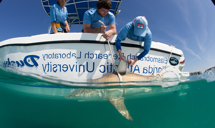 Two 学生们 lean over the side of a boat in the ocean and pull a black tip shark up to them using a rope. A female student is tagging the shark's fin.